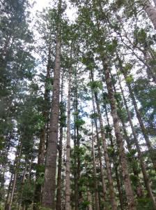 fraser island trees